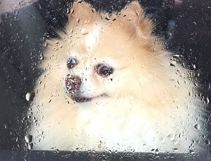 Puppy Pomeranian Dogs Rain Rainy Days Pets Wet Water Day Petstore