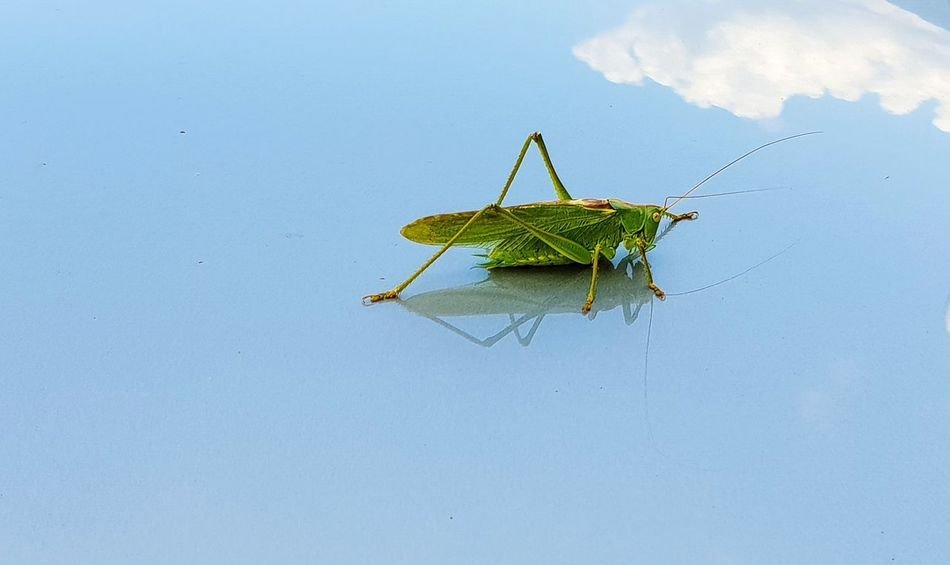 Blue Insect Sky Close-up Animal Themes Grasshopper