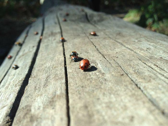 Ladybugs. Nature