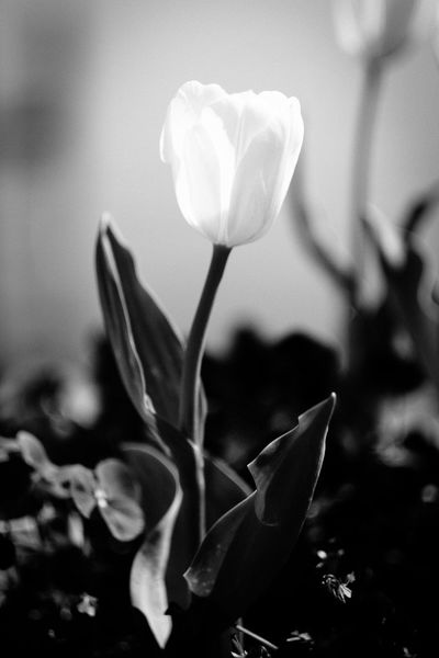 Beauty In Nature Black & White Black And White Blackandwhite Flower Flower Head Fragility Freshness Growth Nature No People Petal Plant Tulip