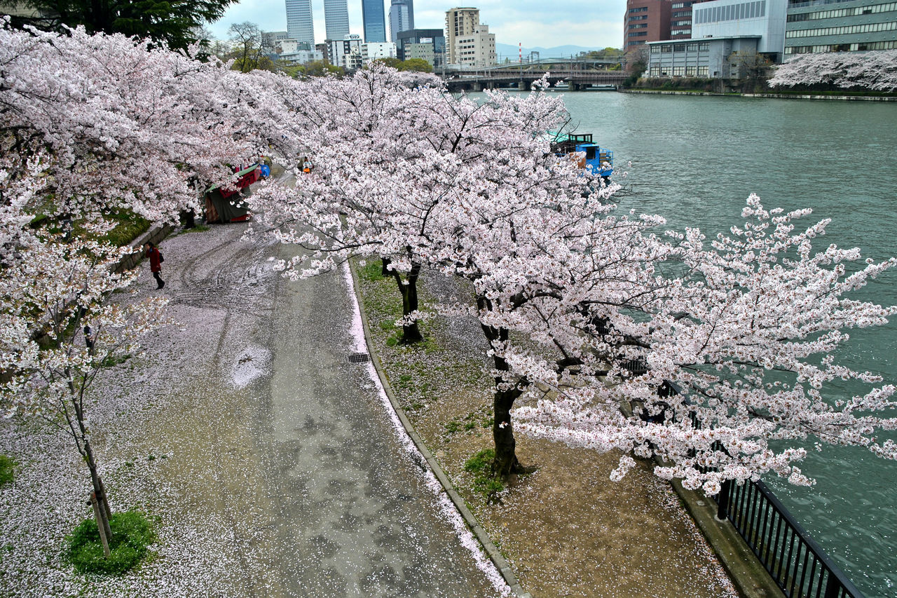 flowering plant, flower, plant, water, nature, growth, blossom, day, tree, built structure, incidental people, architecture, springtime, freshness, beauty in nature, fragility, cherry blossom, real people, cherry tree, outdoors