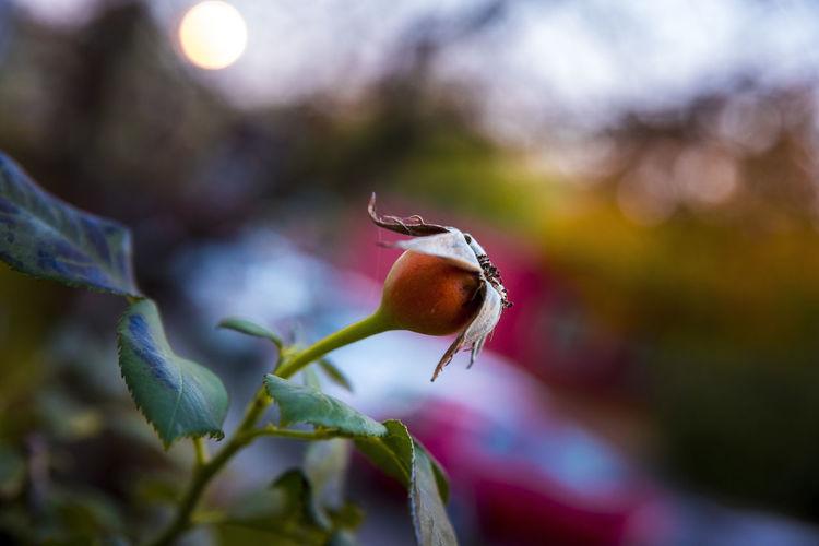 Rose rosehip