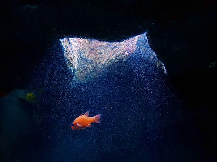 Fish in the spotlight UnderSea Water Swimming Sea Life Underwater Full Length Blue Fish Goldfish Animal Themes