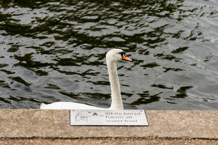 Mute swan swimming past a No white bread for water fowl sign. Beak Feathers River Avon Sign Stratford Upon Avon Stratford On Avon Swans Animal Themes Animal Wildlife Avain Bird Bread Graceful Harm No People One Animal Outdoors Plaque Swan Swimming Text Water Water Foul Waterfront White Bread