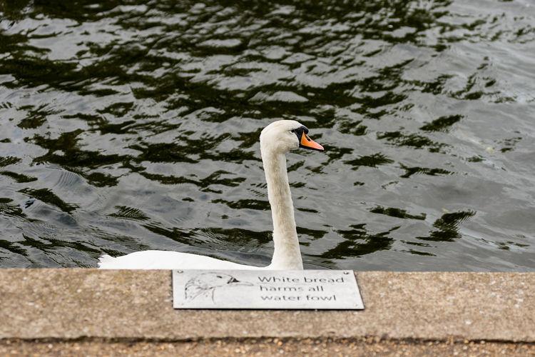 Swan swimming on pond