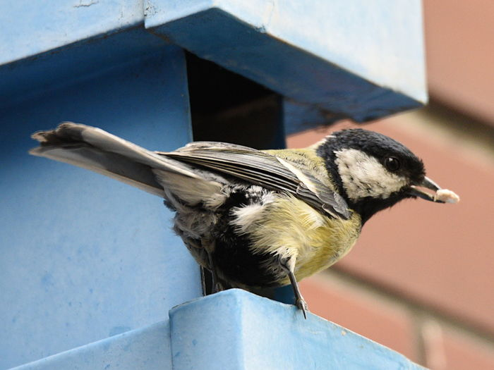 Great tit in front of urban mest