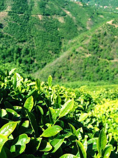 Green Tea Turkey