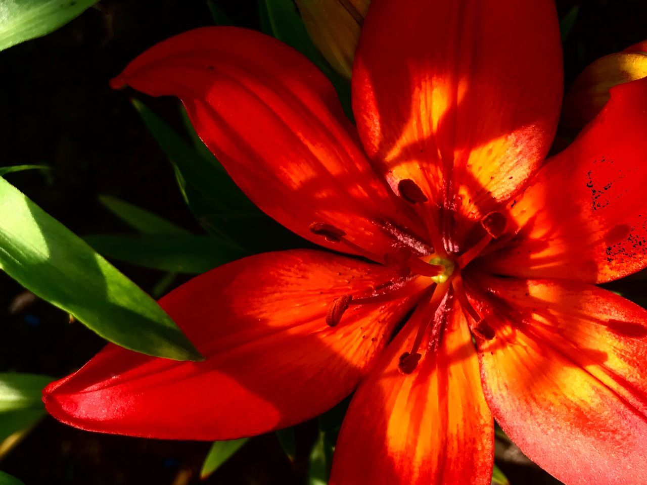 flower, petal, growth, flower head, beauty in nature, fragility, freshness, nature, plant, red, blooming, no people, outdoors, close-up, day, day lily