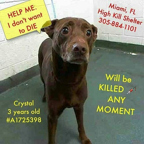 @Regrann from @dixie812 - PLEASE KEEP SHARING HER FOR HER LIFE. SHE'S URGENT!!!! RESCUE, ADOPTER NEEDED!!! repost via @instarepost20 from @jojoandgilbert HELP HER PLEASE 👀 By @chl0ster @karebear2795 CRYSTAL (A1725398 ) I am a female brown Terrier mix. The shelter staff think I am about 3 years old. I was turned in by my owner and I am available for adoption. Miami Maimiflorida Florida Crystal Dogsofinstagram Dogs Saddog Sadeyes @urgentdogsofmiami @stella99xInstarepost20 Regrann