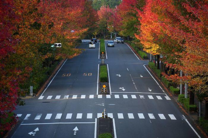 紅葉葉楓並木 Streetphotography Roadside Tree Maple Tree The Way Forward Autumn 2016 My City EyeEm Best Shots From My Point Of View