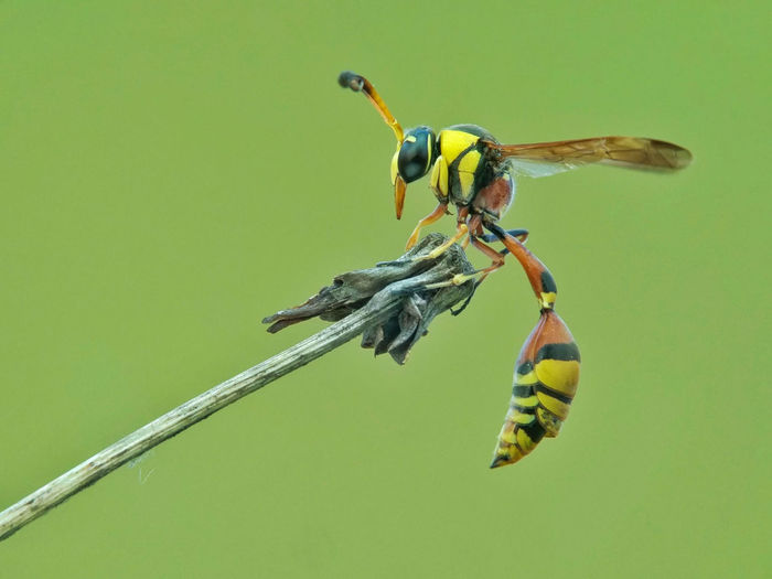 Close-up of yellow potter wasp on a plant