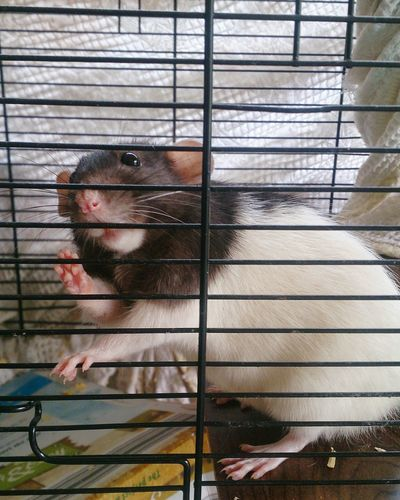 Domestic Animals Pets One Animal Close-up Indoors  Cage Rat My Furbaby RIP :( I Miss You ❤ Oreo ♥