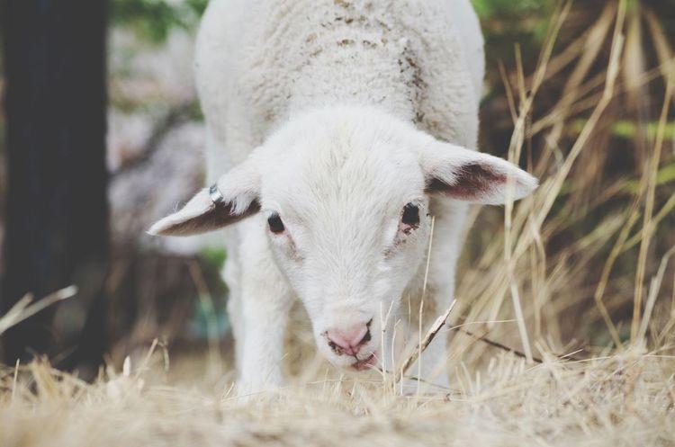 Do you mind? I'm eating... Lamb Taking Photos EyeEm Best Shots Animals