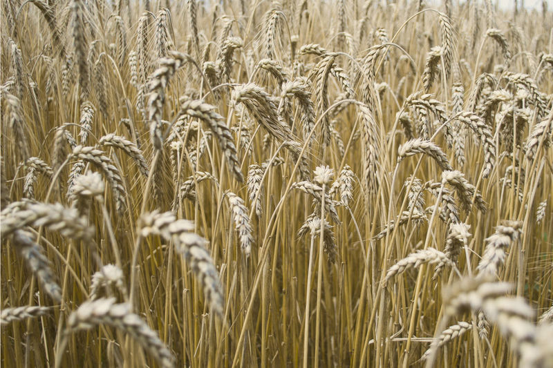 Plant Agriculture Crop  Wheat Outdoors Field Close-up Day