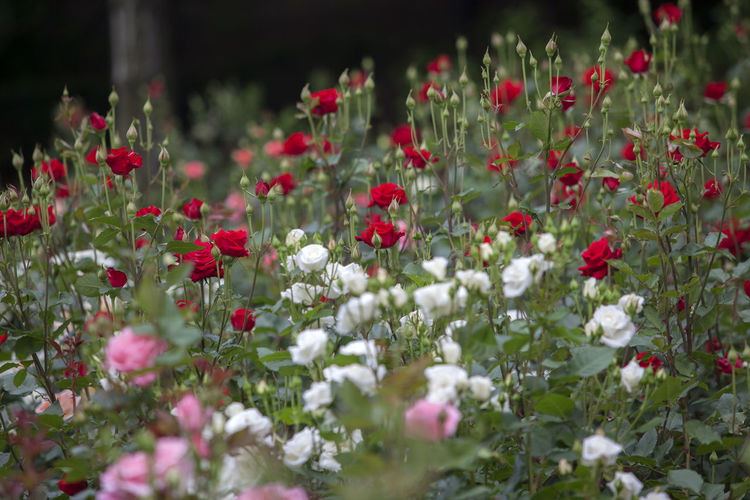 Colorful roses blooming in park