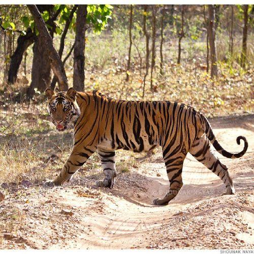 Royal walk of the Banbehi male cub. ShounakNayakPhotography Bandhavgarh Wildlife Tiger savethetiger Bandhavgarh