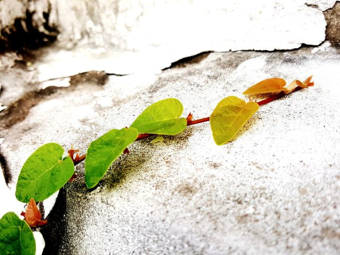 EyeEm Selects Littel leaf of coatbuttons Top Leaf Change Close-up Nature Outdoors No People Day Autumn Fragility Water Beauty In Nature New Born Young Leaves Green Leaves🌿 Leaves On The Wall Old Wall Plant Growth Process Growth In Nature Growing Plants Orange Leaf Spring Autumn Leaves