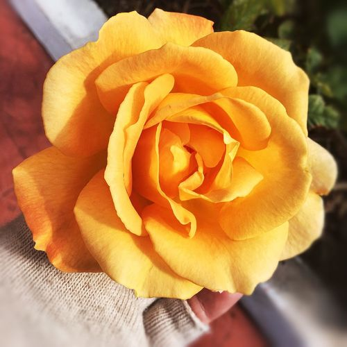 yellow rose on Malta Flower Petal Flower Head Freshness Fragility Nature EyeEmNewHere Rose - Flower Close-up Beauty In Nature Blooming Day