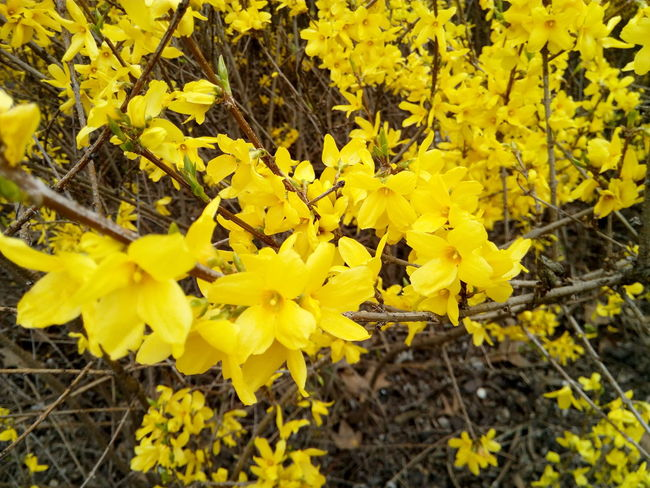 Forsythia Vegetable Spring Gardening Nature Yellow Flower Forsizia Tree Flower Flower Head Yellow Leaf Close-up Animal Themes Plant Vegetation Blossoming  Flora Botanical Yellow Color In Bloom Blooming Petal Daytime Plant Life Stamen Leaves Blossoming  Botany Blossom