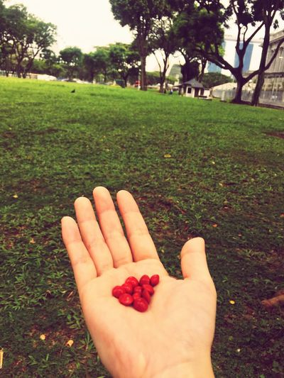 Angsana Angsana Seeds Red Red Dot  Skittles Singapore Urban Nature Fragrance Botany Colour Of Life