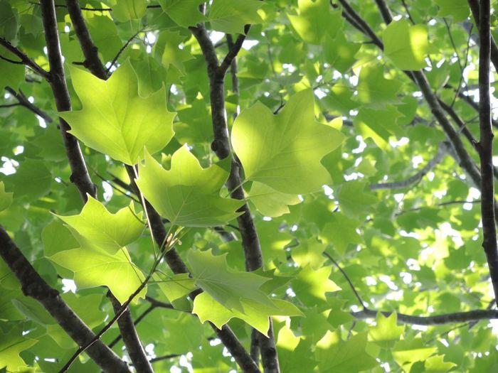 Leaf Nikon P7700 Dazzling