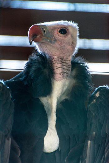 Close-up of condor in zoo