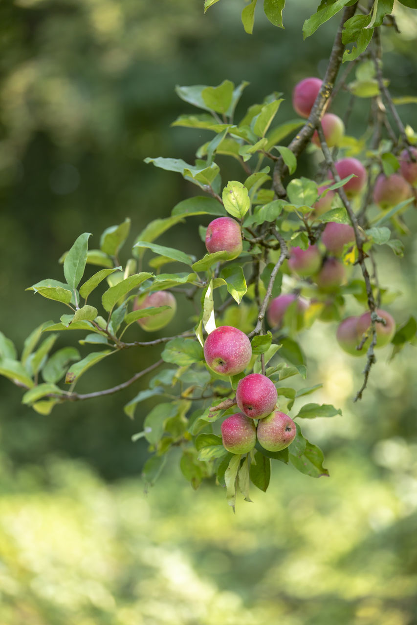 growth, plant, food and drink, fruit, food, beauty in nature, freshness, healthy eating, green color, leaf, day, nature, plant part, focus on foreground, tree, close-up, no people, branch, pink color, outdoors