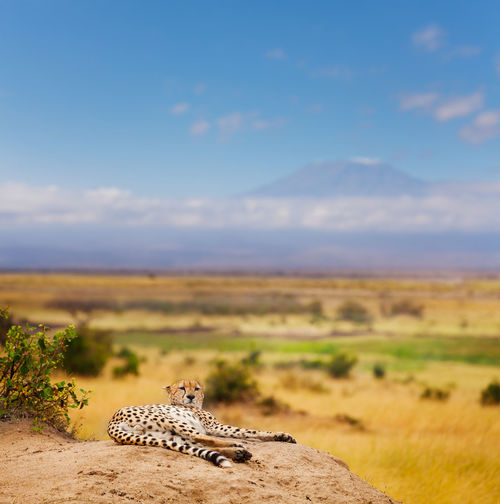 Cheetah resting on rock against plants