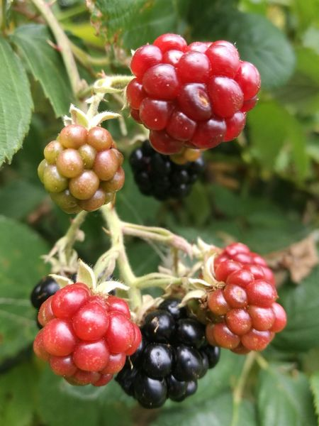 Pramper Fruit Focus On Foreground No People Berry Berry Fruit Berrys Berry Plant Healthy Eating Blackberry Bkackberries Freshness Close-up Outdoors Nature Food