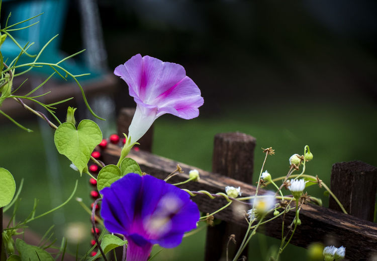Growing wild Beads Beauty In Nature Close-up Fence Flower Flower Head Flowering Plant Garden Fence With Flowers Growing Wild Inflorescence Leaf Morning Glory Flower Nature Necklace Petal Plant Plant Part Plant Stem Red Beads Wild Growth Wilderness