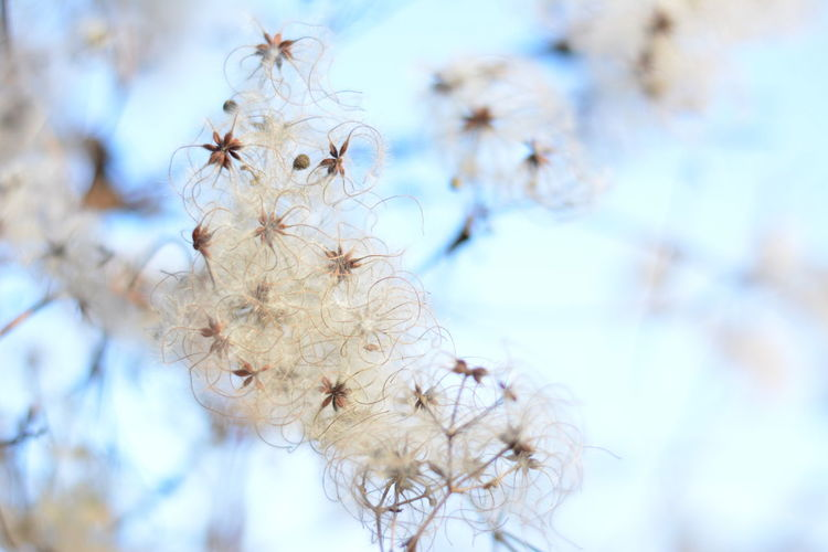 Beauty In Nature Branch Close-up Cold Temperature Day Light Nature No People Outdoors Plant Sky Tree White Color Dreamy Dreamscape Botany Seeds