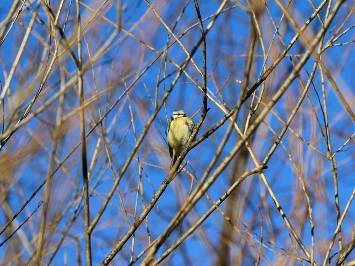 Animal Themes Animal Wildlife Animals In The Wild Bird Bird In A Tree Bird In Wild Bird Photography Birdcollection Birds Of EyeEm  Blåmes Branch Day EyeEm Gallery Low Angle View Mourning Dove Nature Nature Photography No People One Animal Outdoors Perching Sky Sparrow Sunny Day Winterbird