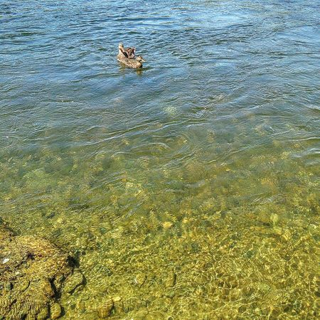 Nature Taking Photos ❤ American River Shallow Water Water Photography Sacramento, California My Photography Golden Sand Fools Gold Pyrite 43 Golden Moments Duck On The Way Showcase July