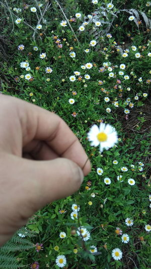 Midsection of person and white daisy flowers on field