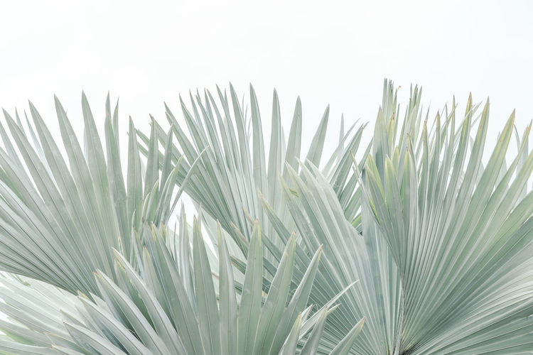 Palm leaves texture Blue Latan Palm Bright Latan Palms Latania Loddigesii Palm Leaf Shapes Textured  Beauty In Nature Bismarckia Nobilis Bismarckia Palm Tree Botany Detail Green Color Growth Leaf Nature Palm Leaf Palm Tree Plant Plant Part Shapes In Nature  Texture Tone White Background