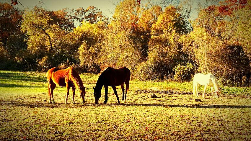Huntington Ny Autumn Colors Colorful Trees Horses Walt Whitman