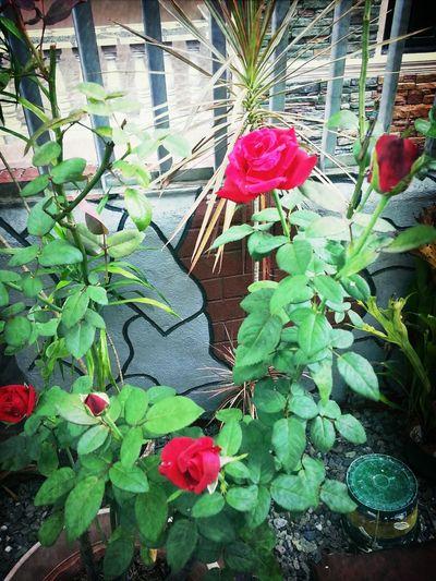 beautiful Roses InTheGarden 