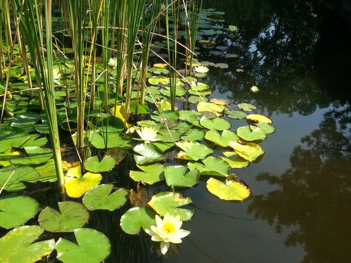Green Color Reflection Outdoors Water Leaf Floating On Water Tranquility UnderwaterNo People Nature Beauty In Nature Lotus Water Lily Garden Flower Budapest Isola Margherita Giapponese