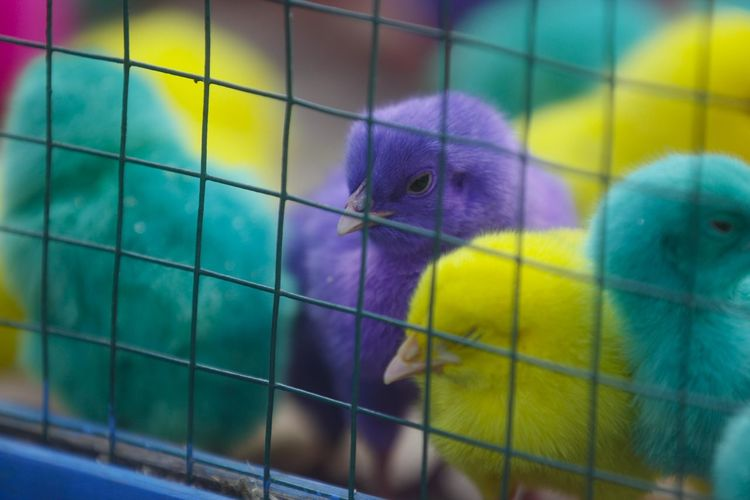 Colorful chickens in Indonesia. Animal Bird Animal Themes Vertebrate Cage Young Bird Young Animal Group Of Animals No People Close-up Baby Chicken Animals In Captivity Focus On Foreground Birdcage Yellow Pets Animal Wildlife Day Indoors  Domestic Beak Animal Head  Animal Family