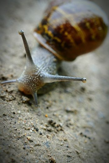Snail Snail🐌 Snail Photography Snail Collection Snail Shell Antenna Antennae Nature Nature Photography EyeEm Nature Lover Macro Macro Snail Macro Nature Macro Photography Nikon D3200