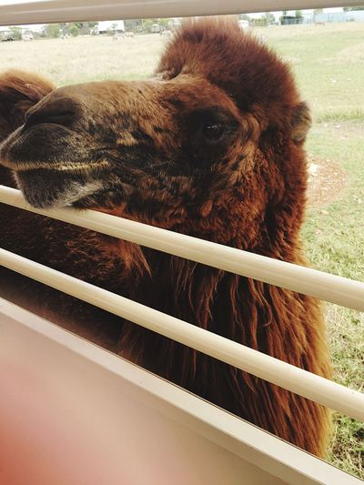 Close-up of bactrian camel by fence on field