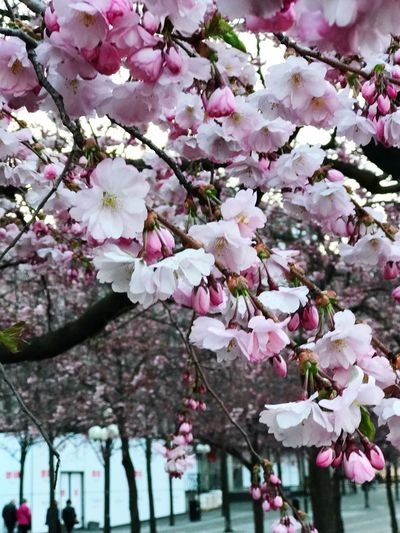 The Week on EyeEm Plant Pink Color Flower Flowering Plant Growth Tree Freshness Springtime Beauty In Nature Branch Blossom Cherry Tree Day Cherry Blossom Nature Low Angle View