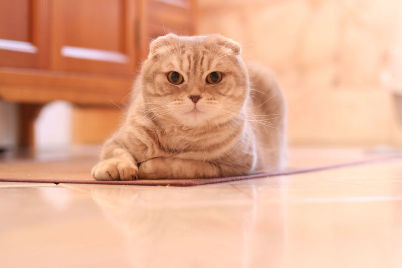 #scottishfold Animal Themes Close-up Day Domestic Animals Domestic Cat Feline Indoors  Looking At Camera Mammal No People One Animal Pets Portrait Whisker