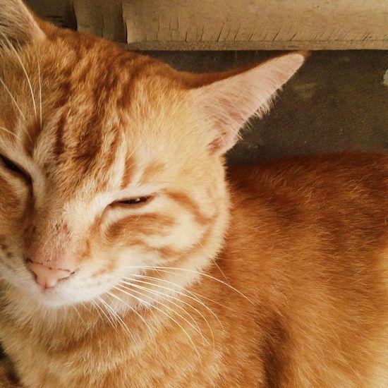 Pet Portraits Domestic Cat Domestic Animals Pets One Animal Feline Cat Whisker Close-up Ginger Cat