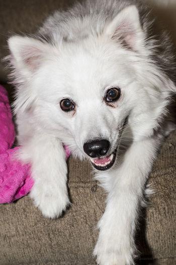 GayneGirlPhotography EyeEm Best Shots EyeEmBestPics EyeEm Gallery Eskievler Eskie American Eskimo Spoiled Pup Dog Dogs Of EyeEm Dogs Dogs Life Dogs Dogs Dogs