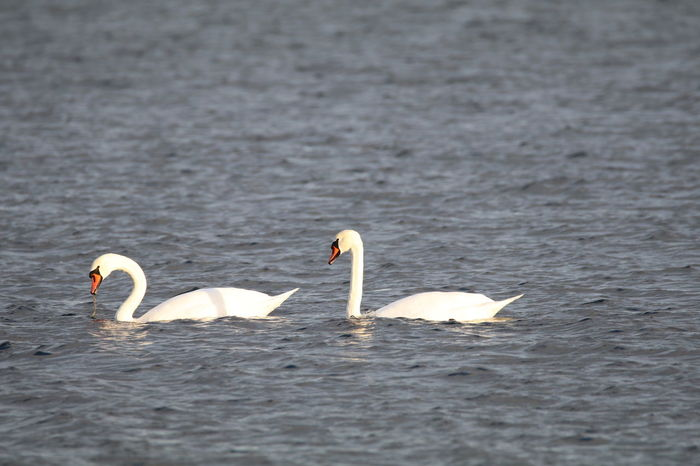 Bird Animals In The Wild Swan Animal Wildlife Swimming No People Water Bird Nature Outdoors Animal Themes Day Canon Eos 80d Sigma150-600c HighResolution No Edit/no Filter Swans In Sea A Pair Coldwater Latitude60° Live For The Story