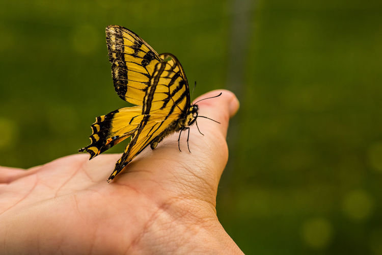 Yellow Striped Butterfly On Palm