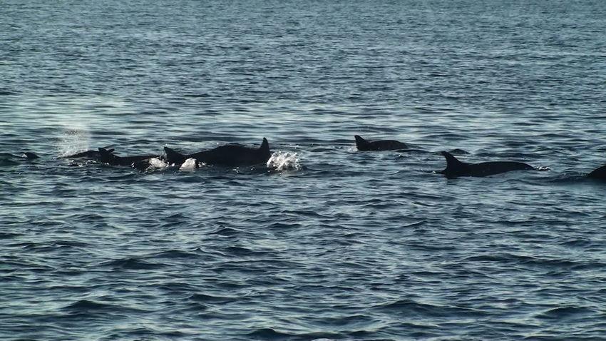 Mauritius Sea Animals In The Wild Water Daulphin île Maurice  Bleu Mer Dauphin