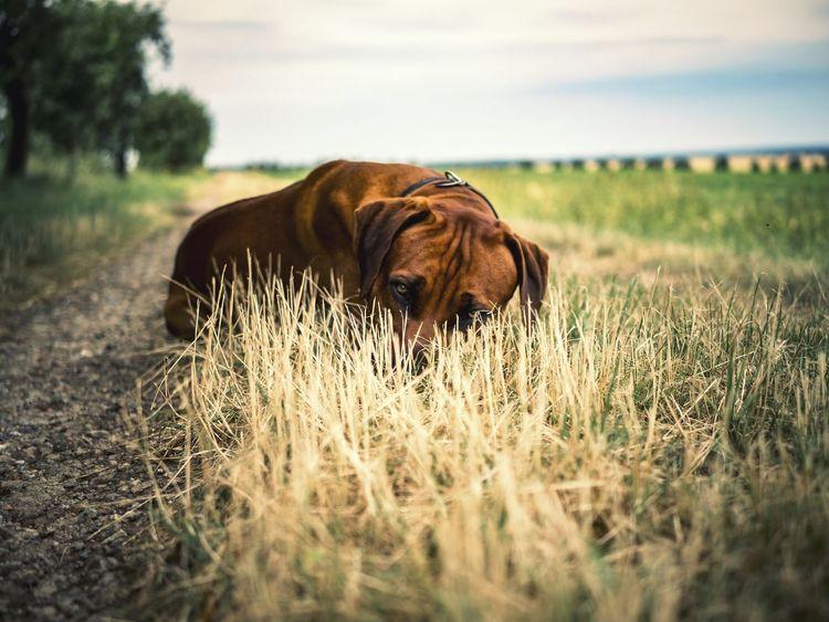 Rodesianridgeback Rodesian Ridgeback Dog Dog Love Summer Chilling