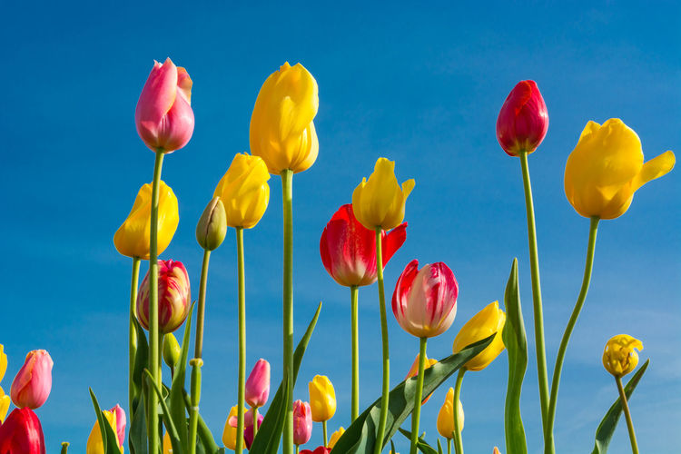 Plant Flower Beauty In Nature Flowering Plant Freshness Vulnerability  Fragility Yellow Nature Petal Tulip Sky Growth Close-up Inflorescence No People Blue Flower Head Red Plant Stem Outdoors Blue Background Springtime Spring